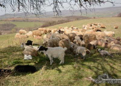 sheep in transylvania