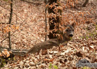 wild deer in transylvania